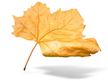 Beautiful golden Fall leaf isolated in white Royalty Free Stock Photography