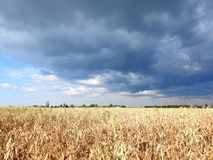 Peas field and beautiful cloudy sky, Lithuania stock photo