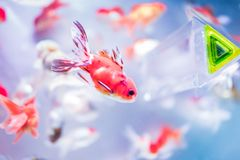 The beautiful golden fish stock images