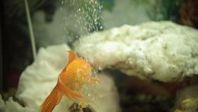 Beautiful golden fish swimming in transparent aquarium. Oxygen bubbles in the water stock video