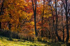 Beautiful golden foliage on sunny day in forest Stock Images