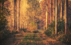 Beautiful golden forest an autumn day stock photography