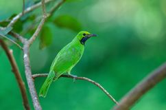 Golden-fronted leafbird on the branch royalty free stock photos