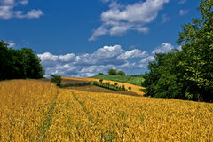 Beautiful golden grain field in summer Royalty Free Stock Image
