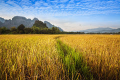 Beautiful golden and green Rice field with mountain in Vang Vieng, Laos. Royalty Free Stock Image