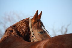 Beautiful golden horse portrait looking back Royalty Free Stock Photo