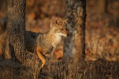 Beautiful golden jackal in nice soft light in India. /Canis aureus/indian wildlife and nature/indian national park/wildlife in india royalty free stock photos