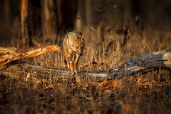 Beautiful golden jackal in nice soft light in India royalty free stock images
