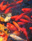 Beautiful golden koi fish Royalty Free Stock Photography