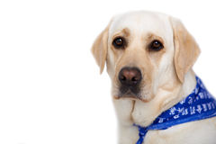 Beautiful golden labrador Stock Images