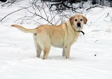 Beautiful golden labrador retriever playing in the snow Royalty Free Stock Images