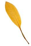 Beautiful golden leaf Royalty Free Stock Image
