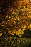 Beautiful golden-leaved trees and hedge Royalty Free Stock Images