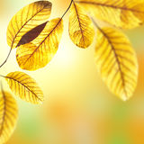 Beautiful golden leaves of walnut Royalty Free Stock Photography