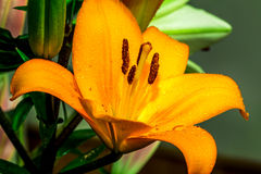 Beautiful golden lily in focus Stock Photos