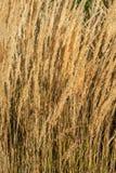 Beautiful golden long spikelet grass at sunset in Autumn, detail stock images
