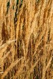 Beautiful golden long spikelet grass at sunset in Autumn, detail stock image