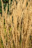Beautiful golden long spikelet grass at sunset in Autumn, detail royalty free stock photo