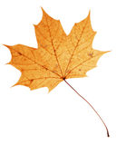 Beautiful golden maple leaf Stock Photos