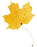 Beautiful golden maple leaf Royalty Free Stock Photo