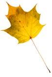 Beautiful golden maple leaf Stock Image