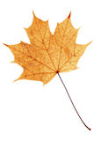 Beautiful golden maple leaf Stock Photo