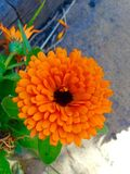 Beautiful golden orange flower. Golden orange flower blooming in garden Stock Photography