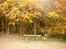 Beautiful golden orange leaves above empty bench peace solitude Royalty Free Stock Photo