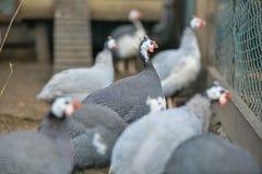 Beautiful golden pheasant  Stock Photos
