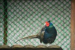 Beautiful golden pheasant  Stock Photo