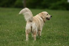 Beautiful Golden Retriever Royalty Free Stock Photography