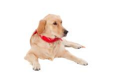 Beautiful Golden Retriever dog breed Royalty Free Stock Photo