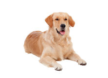 Beautiful Golden Retriever dog breed Stock Images