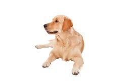 Beautiful Golden Retriever dog breed Stock Photo