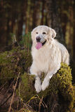 Beautiful golden retriever dog in the forest Royalty Free Stock Photography