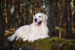 Beautiful golden retriever dog in the forest Royalty Free Stock Photos