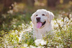Beautiful golden retriever dog in the forest Royalty Free Stock Image