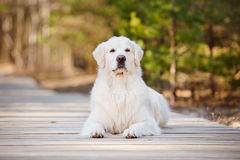 Beautiful golden retriever dog in the forest Stock Photography