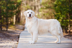 Beautiful golden retriever dog in the forest Stock Image