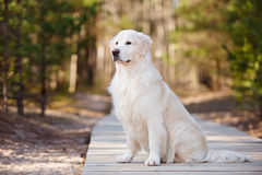 Beautiful golden retriever dog in the forest Stock Photo