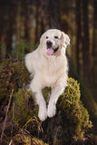 Beautiful golden retriever dog in the forest Stock Photos