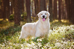 Beautiful golden retriever dog in the forest Stock Images