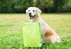 Beautiful Golden Retriever dog holding green shopping bag in teeth on grass in summer Stock Photo