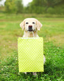 Beautiful Golden Retriever dog holding green shopping bag in teeth on grass in summer