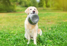 Beautiful Golden Retriever dog holding in teeth bowl on grass