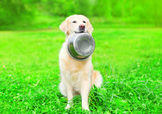 Beautiful Golden Retriever dog is holding in the teeth a bowl on grass Royalty Free Stock Image
