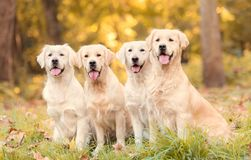 Beautiful golden retriever dog in the nature stock images