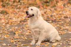 Beautiful golden retriever dog in the nature royalty free stock photos