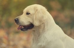 Beautiful golden retriever dog in the nature royalty free stock image