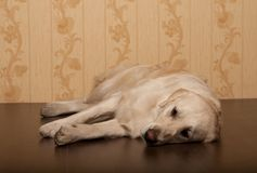 Golden retriever dog photographed at home. Beautiful golden retriever dog photographed at homerr stock photography